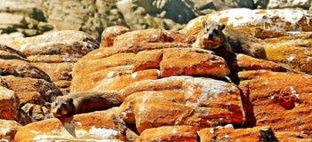 Due tassi della roccia che montano la guardia su una roccia arancio Immagini Stock Libere da Diritti
