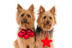 Due terrier australiani con gli attributi rossi di Natale Fotografia Stock Libera da Diritti