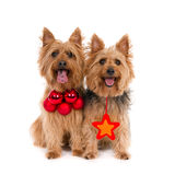 Due terrier con gli attributi di Natale Fotografie Stock