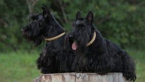 Due terrier scozzesi video d archivio