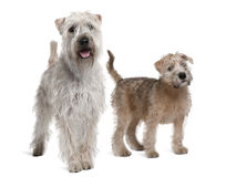 Due Terriers Wheaten Morbido-Rivestiti, levantesi in piedi Immagini Stock Libere da Diritti