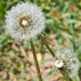 Due teste del seme dei blowballs del dente di leone si chiudono su Fotografia Stock