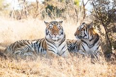 Due tigri di Bengala Fotografia Stock