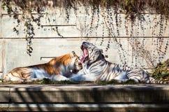 Due tigri nel giardino zoologico Immagini Stock