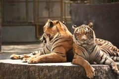 Due tigri nel giardino zoologico Fotografia Stock Libera da Diritti