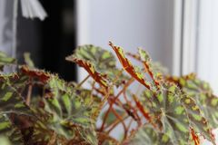 Tiger begonia,begonia foliage,begonia Bauer-photo houseplants. Due to the contrast of the picture, which is decorated with foliage, tiger begonia resembles the royalty free stock photo