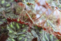 Tiger begonia,begonia foliage,begonia Bauer-photo houseplants. Due to the contrast of the picture, which is decorated with foliage, tiger begonia resembles the royalty free stock photos