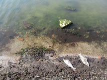 The concept of pollution of the seas and oceans - two large dead fish on the shore of the sea bay with dirty water. Due to environmental disasters and human Royalty Free Stock Photography