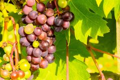 Grape vine, bunch of grapes royalty free stock images
