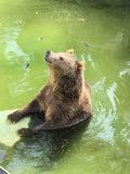 Chilling Grizzly Bear stock images