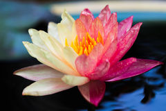 Due Tone Waterlily Fotografia Stock