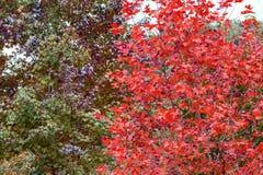 Due toni di struttura delle foglie di acero Fotografia Stock