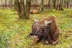 Due tori del bisonte in parco nazionale Bialoweza, Polonia, Europa Orientale fotografie stock
