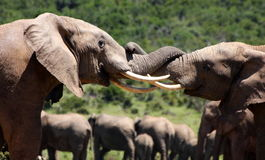 Due tori dell'elefante combattono in Sudafrica Fotografie Stock