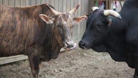 Due tori stanno stando con una penna sull'azienda agricola video d archivio