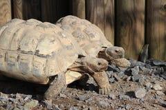 Due Tortoises Fotografia Stock Libera da Diritti