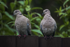 Due tortore dal collare orientale curiose che si siedono su un recinto di legno scuro Fotografia Stock Libera da Diritti