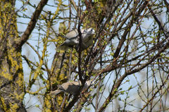 Due tortore sui rami di un'albicocca Fotografia Stock