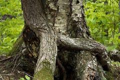 Due tronchi delle radici dell'albero intrecciate a upstate New York fotografia stock