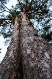 Due tronchi di albero che crescono insieme come i gemelli fotografia stock libera da diritti