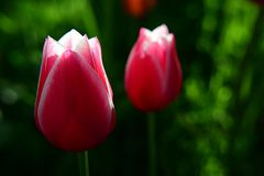 Due tulipani Immagine Stock Libera da Diritti