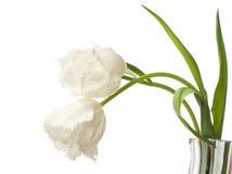 Due tulipani bianchi belli Fotografia Stock