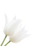 Due tulipani bianchi isolati su bianco Immagine Stock Libera da Diritti