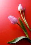 Due tulipani dentellare su priorità bassa rossa immagini stock libere da diritti
