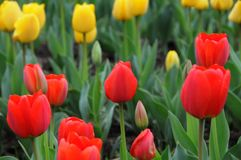 Due tulipani di colore Fotografia Stock