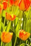 Due tulipani di colore Immagine Stock