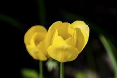 Due tulipani gialli Fotografia Stock
