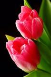 Due tulipani rosa Fotografie Stock Libere da Diritti