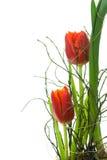 Due tulipani rossi. Immagine Stock Libera da Diritti