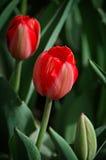Due tulipani rossi Fotografia Stock Libera da Diritti