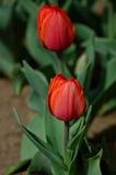 Due tulipani rossi Immagine Stock