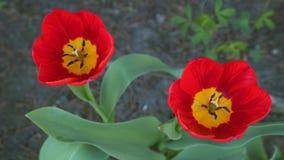 Due tulipani rossi Primo piano video d archivio
