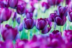 Due tulipani viola in giardino sul fondo del bokeh All'aperto, molla Fotografie Stock Libere da Diritti