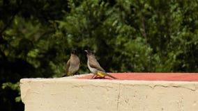 Due uccelli Brown-ricoperti di bulbul che riposano su una parete fotografie stock