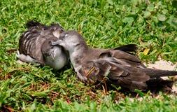 Due uccelli che sembrano rannicchiarsi immagini stock libere da diritti