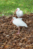 Due uccelli dell'ibis stanno stando in una gamba Fotografie Stock Libere da Diritti