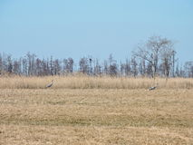 Due uccelli della gru nel campo, Lituania Fotografie Stock