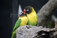Due uccelli di amore Fotografie Stock