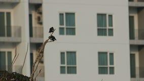 Due uccelli di myna comuni stanno riposando sul ramo di albero video d archivio