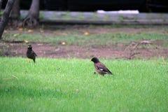 Due uccelli di Mynas che cercano alimento sul pavimento dell'erba verde immagine stock libera da diritti