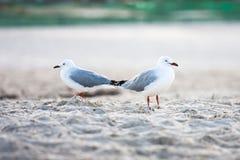 Due uccelli marini d'argento dei gabbiani che stanno sulla spiaggia di sabbia Fotografie Stock
