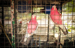 Due uccelli rosa in una gabbia per uccelli Fotografia Stock