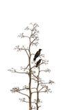 Due uccelli su priorità bassa bianca Fotografia Stock Libera da Diritti
