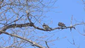 Due uccelli su un ramo asciutto video d archivio