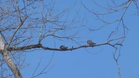 Due uccelli su un ramo asciutto stock footage