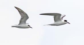 Due uccelli sui precedenti bianchi Immagine Stock